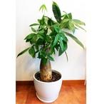 観葉植物 パキラ 8号 陶器鉢入