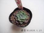 多肉植物 七福美尼 シチフクビニ(エケベリア属)いとうぐりーん 産直苗 2号