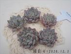 ブラックザラゴーサ 韓国苗 多肉植物