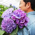 青木良平さんの紫陽花(アジサイ) 紫系 おまかせミックス3本入り ※本州お届け限定