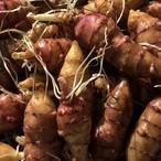 【好評販売中! 】種イモ用のキクイモ(菊芋)10個