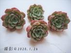 ヴィクトリー(エケベリア属)韓国苗 多肉植物