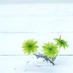 オオカサゴケ 3本 テラリウム 苔玉に 苔 コケ!