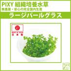 PIXY組織培養水草 ラージパールグラス