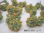 オレンジボール 韓国苗 多肉植物