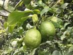 完全無農薬レモン3kg(約12〜17個)