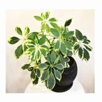 金魚のしっぽの様な可愛い葉 シェフレラ レナータ 5号陶器鉢入