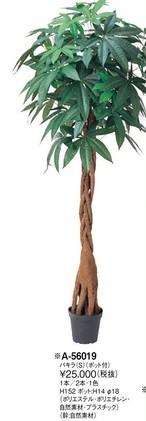 パキラ     花言葉「快活」「勝利」 高さ:152cm