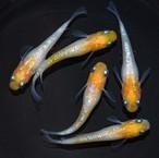 *伊香保FF BASE限定* 黄桜 (2021年産まれ)稚魚 20匹  ikahoff V-0403-8295-c