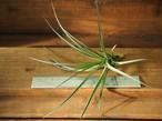 チランジア / アエラントス アルボフローラ (T.aeranthos 'Albo-Flora')