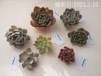韓国苗お試しセットD 新品種3種&普及種4種セット)多肉植物