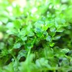 【高原の苔】 コツボゴケ 透明感のある葉が美しい!