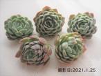 【交配種】スノーボール×ヒューミリス 韓国苗 多肉植物
