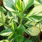斑入りクルシア・ゴールドラッシュ10.5cmポット苗