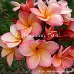 JL Hawaiian Coral