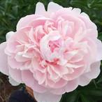 鈴木さんの芍薬 薄ピンク 20本セット