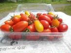 ミニトマト アイコ カナリーベル 盛り合わせ 1kg お届け期間 8月15日~8月25日限定