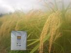 農薬不使用 佐渡コシヒカリ(在来種)精米  2kg