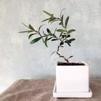 オリーブ盆栽 ミッション(PS7)