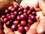 コロンビア コーヒー  有機・FT ウイラ・フェアトレード 生豆1キロ 2500円