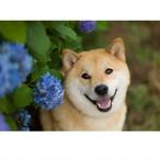 柴犬まる;ポストカード;ブルー紫陽花にっこりまる