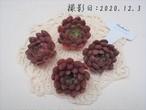 ピンクルルビー 韓国苗 多肉植物