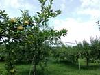 あきた 葉取らずりんご 3種詰め合わせ 5kg  家庭用 予約商品