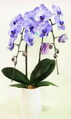 紫色の胡蝶蘭 パープル エレガンス 2本立ち