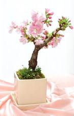 【2つセット】 花終わりの特別セール!!! 来年の花見に! 旭山桜の盆栽!