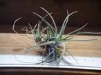 チランジア / ウトリクラータ プリングレイ (T. utriculata ssp. pringlei) Sサイズ
