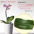 Welcome! - マイクロ胡蝶蘭1本立
