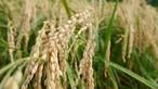 《H29年産新米》有機棚田米コシヒカリ 玄米 10㎏