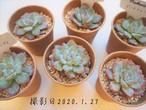 ピーチキャンディ(エケベリア属)韓国苗 多肉植物 人気品種