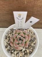 多肉植物 韓国苗 キューティーズ × ブリドニス☆No.6