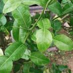 バイマクルー(バイマックルート)Kaffir lime leaf コブミカンの葉 / ใบมะกรูด 2.5g(5-8葉)