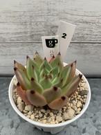 多肉植物 韓国苗 ハロウィン Hyb☆No.2