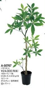 パキラ    花言葉「快活」「勝利」 高さ:125cm