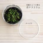 【苔テラリウム】小さなコケの森ミニシャーレ タマゴケ