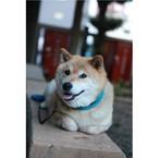 柴犬まる;ポストカード;カモメまゆ