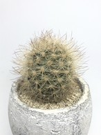 ネオルポルテリア・銀翁玉
