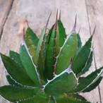 アガベ ホリダ agave horrida 2 【大株・美株】