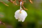 花クラゲ・オオシマザクラ