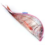 魚ケース 鯛