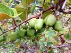 【500g】 自然栽培 サルナシ