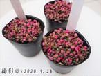 多肉植物 桜吹雪(ミニ) サクラフブキ (アナカンプセロス属)いとうぐりーん 産直苗 2号