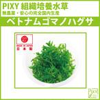 PIXY組織培養水草 ベトナムゴマノハグサ