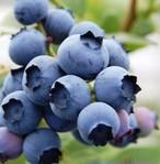 Blueberry ブルーベリーのジャム