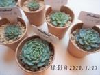 ★SALE★ティルピ(エケベリア属)韓国苗 多肉植物 新品種 中小2株セット