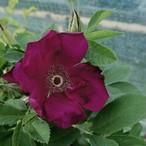 【希少種】ベイシーズ パープル ローズ Basye's Purple Rose