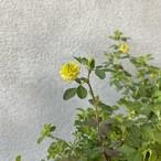 クスダマツメクサ 幸せの黄色いクローバー